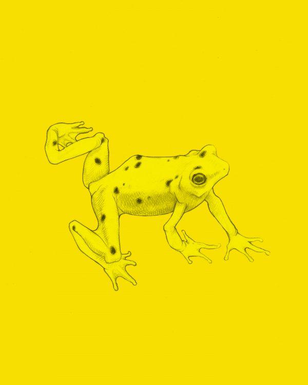 Panamanian Golden Frog.jpg