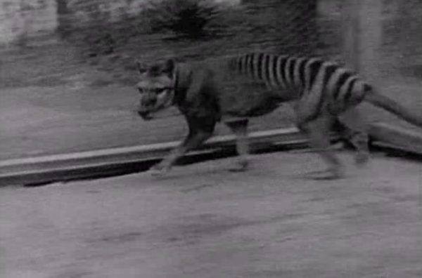 Thylacine filmed in Hobart Zoo
