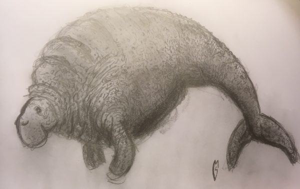 pencil sketch of extinct giant sea cow