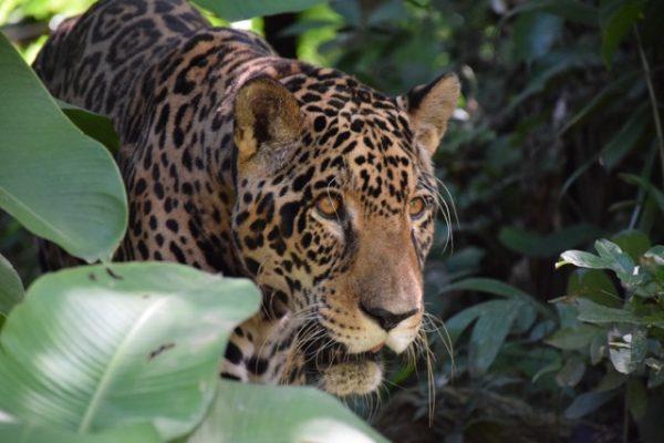 jaguar looking through undergrowth