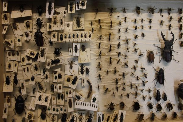 Insects pinned to boards in Booth Museum
