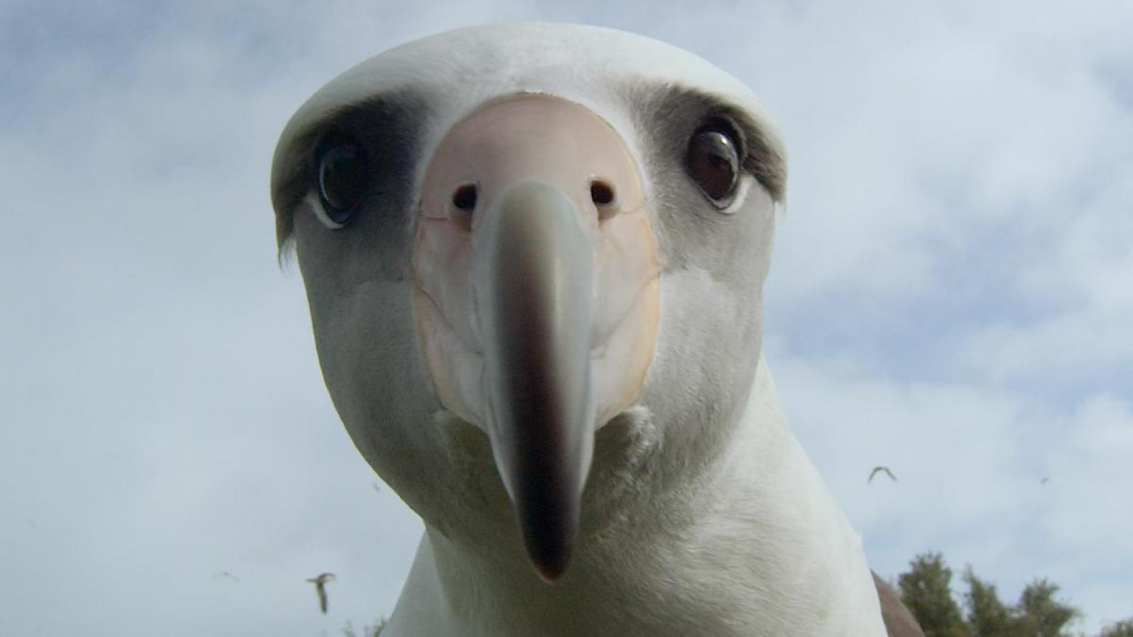 Forumaš iznad u liku životinje - Page 7 MF17-STILL-Albatross2