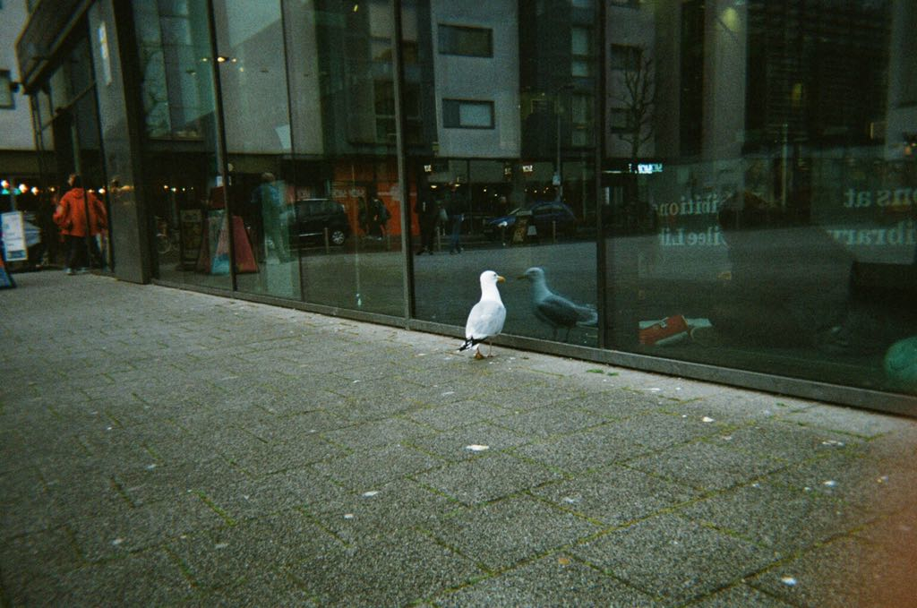photo of a seagull looking at its reflection in the window