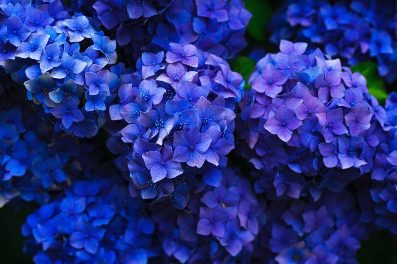 Photo of blue hydrangea flowers