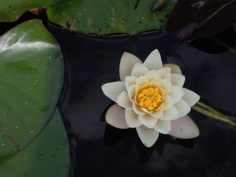 Lotis Flower in pond
